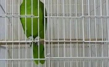 Parrot recites the Iqamah